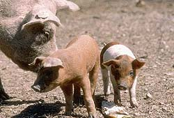 hvad hedder grisens unger