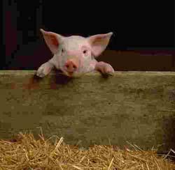 hvor mange patter har en gris